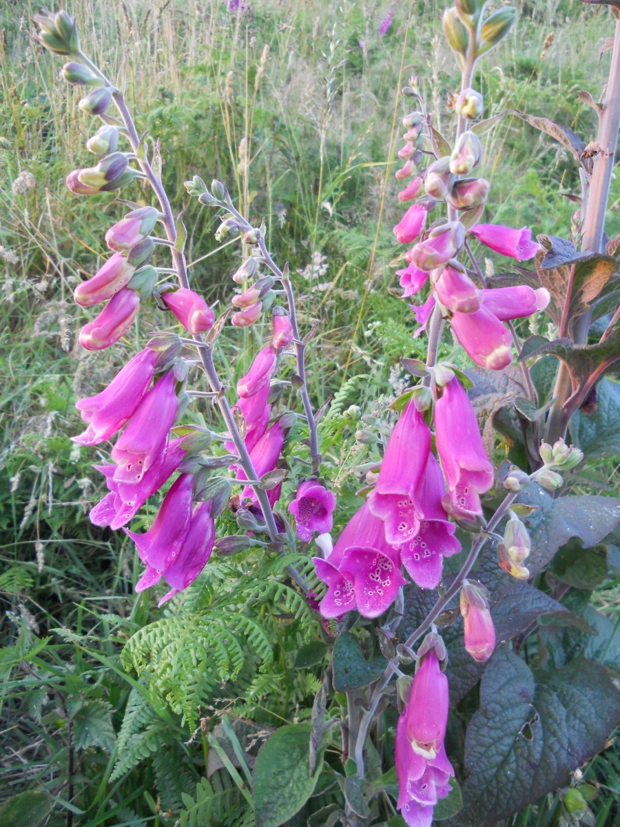 Foxgloves (Digitalis purpurea) are abundant during the summer months in woodlands, field margins and hedgerows.