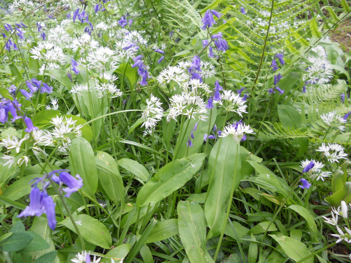 Wild garlic (white flowers) grow amongst bluebells on a densely populated bank. You can smell the garlic from quite a ways away, and the leaves of this plant are edible.