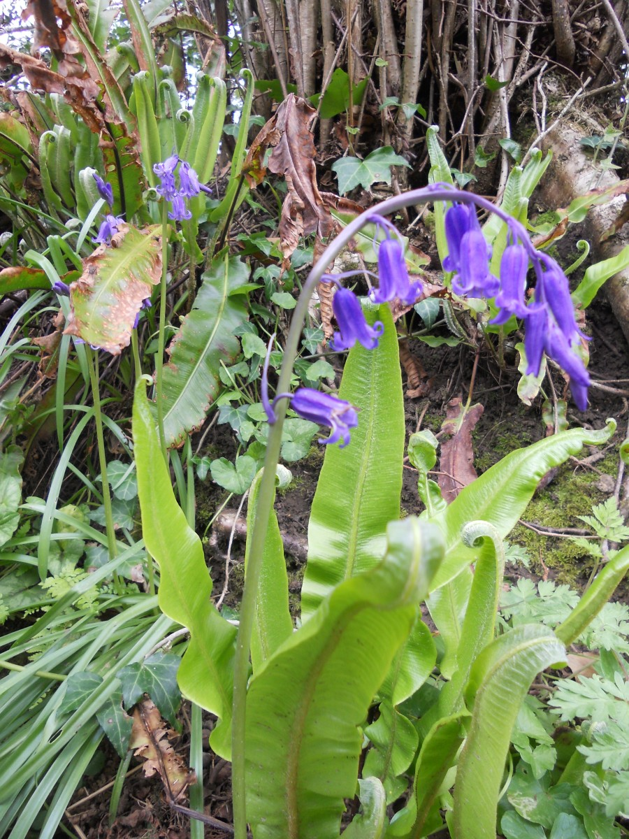 An English bluebell, differentiated from its Spanish cousin by its drooping habit