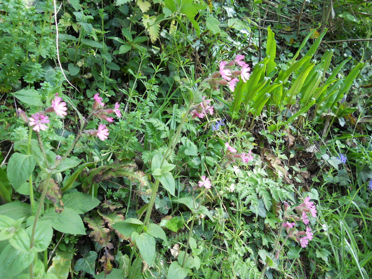Red campion (the pink flowers in the foreground) grow amongst harts-tongue ferns along a roadside.