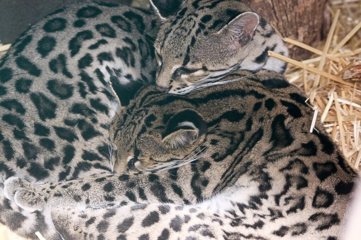Two margays in a zoo