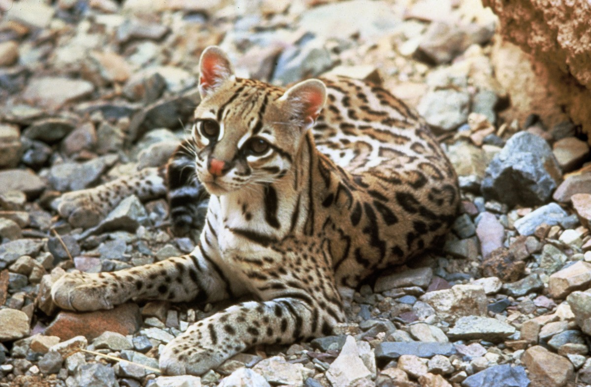 This cat is an ocelot. The ocelot is quite similar to the margay, but it's a larger animal, spends less time in trees and has a smaller tail in proportion to its body length.