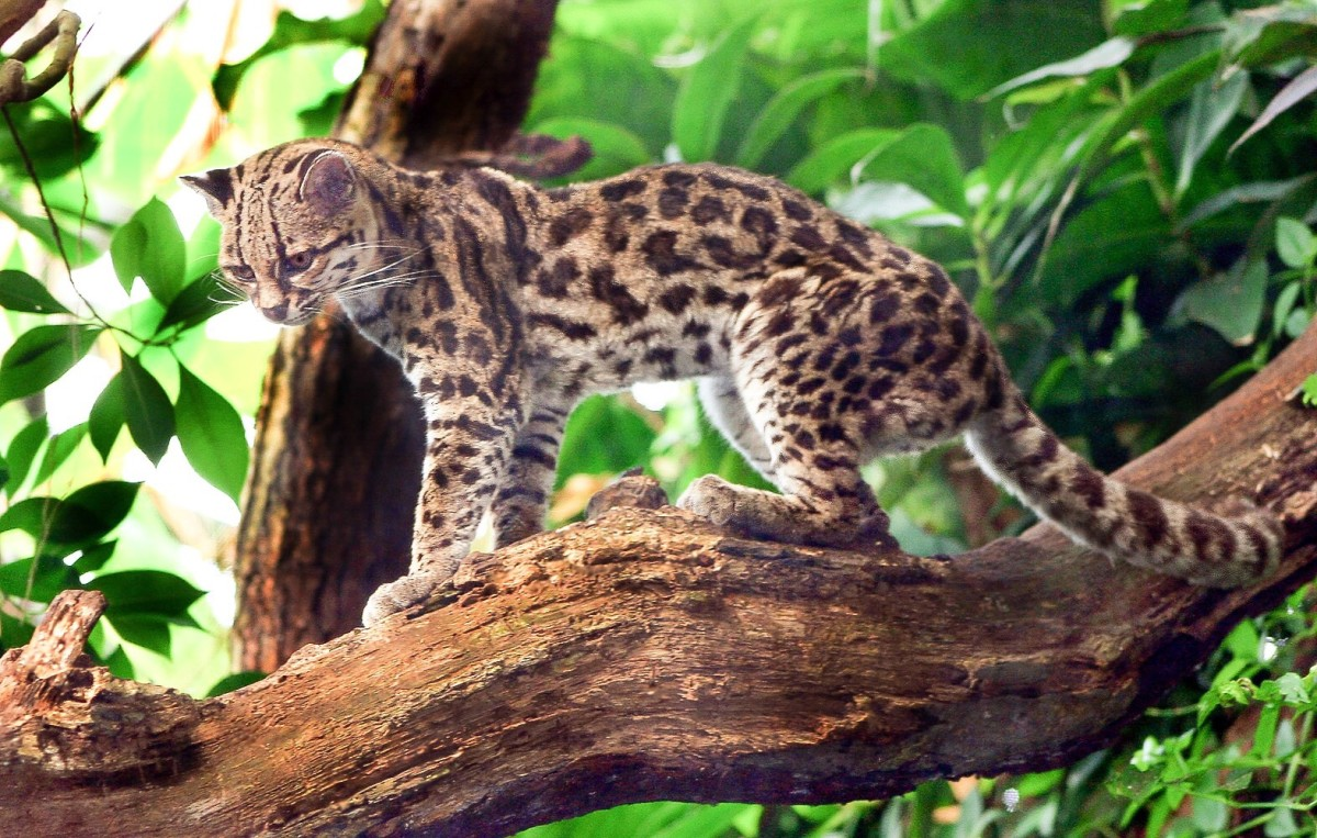A margay in the trees