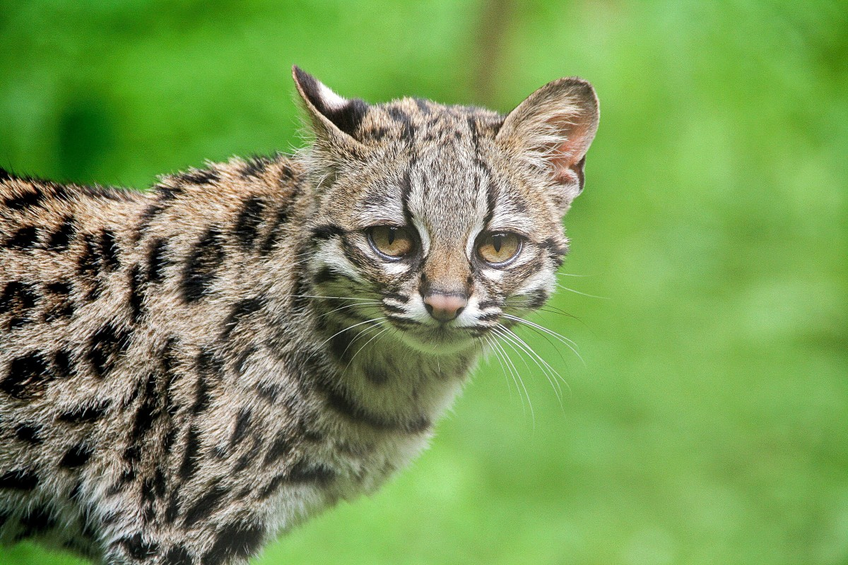 A captive margay in France