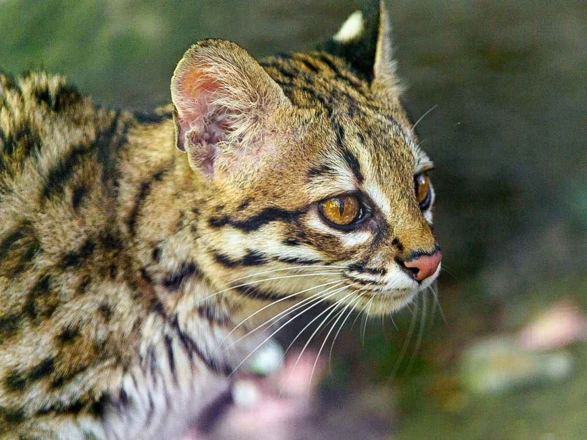 This cat is an oncilla. The oncilla is similar to a margay, but it's a smaller animal and has a dantier appearance.