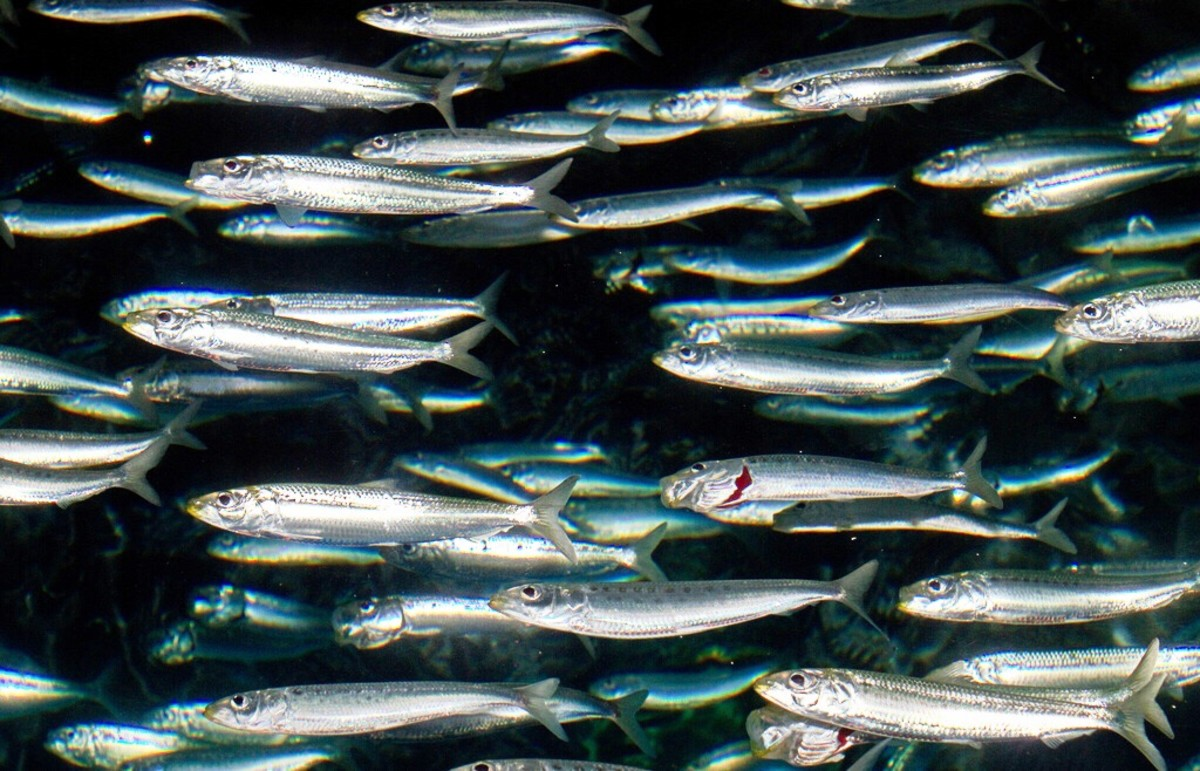 Sardinops sagax, which is known as a sardine or a pilchard