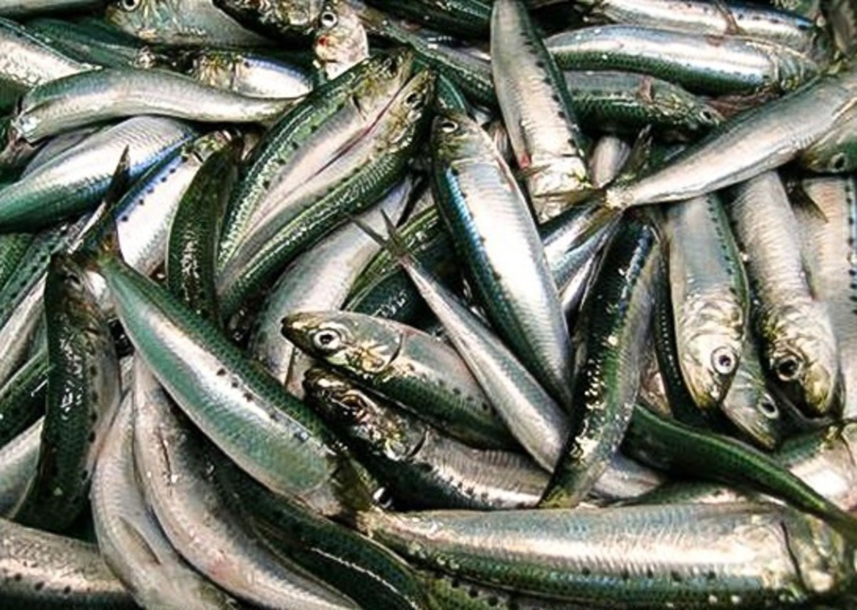A Pacific sardine catch