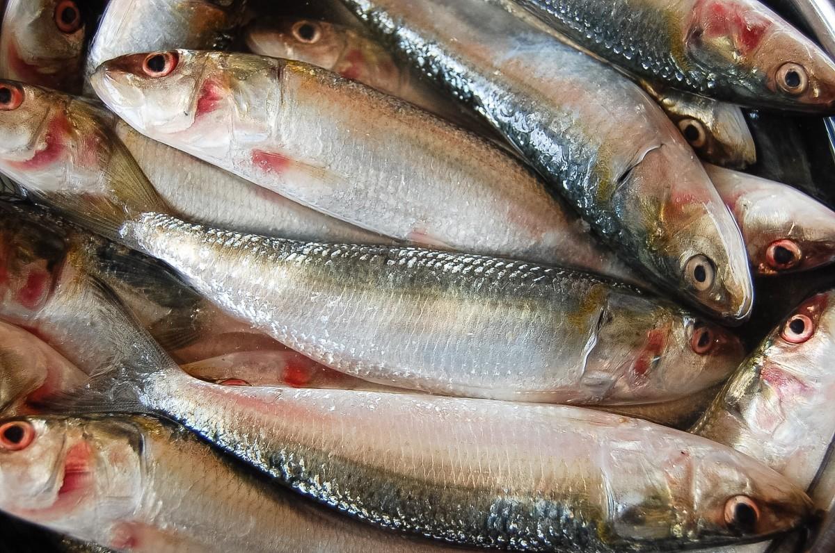 The Indian oil sardine, or Sardinella longiceps