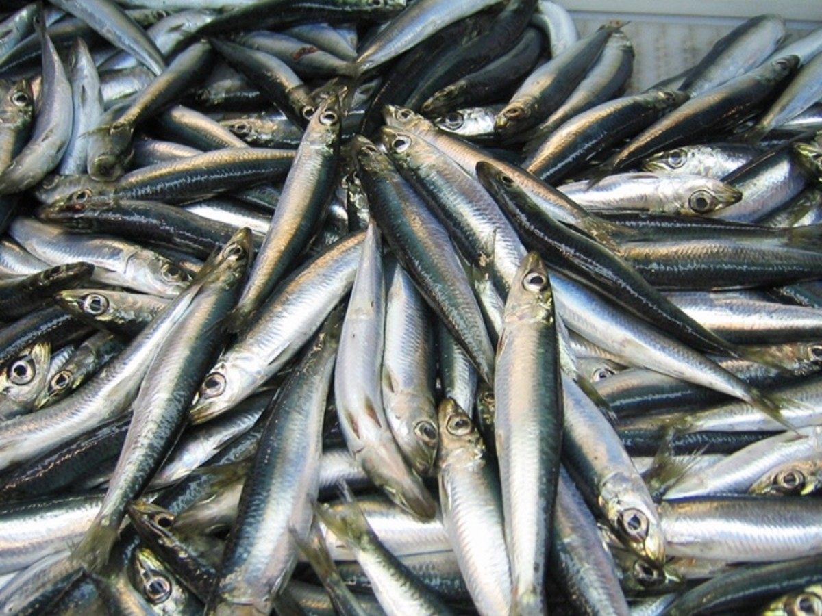 An Atlantic herring catch