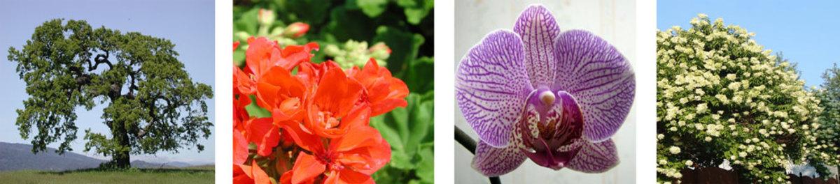 An oak tree; a geranium; an orchid; and a shrub (hydrangea) in full flower