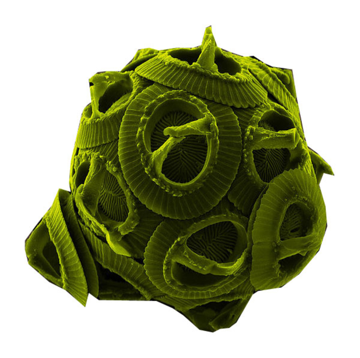 A single-celled alga viewed through a very powerful electron microscope. This one is a sea dweller, but many similar kinds live in freshwater ponds and lakes.