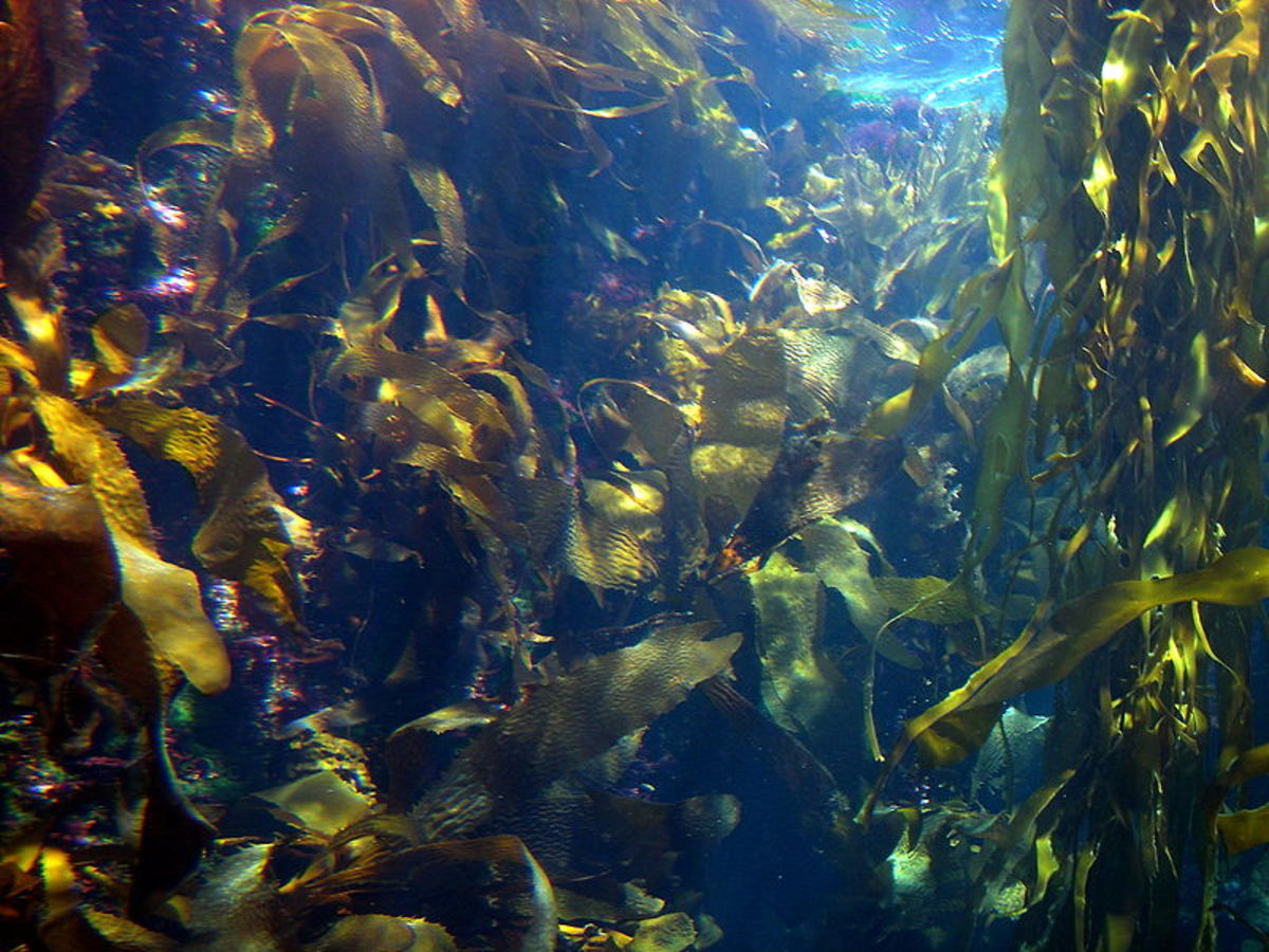 A kelp forest with many brown algae. Photo by Fastily