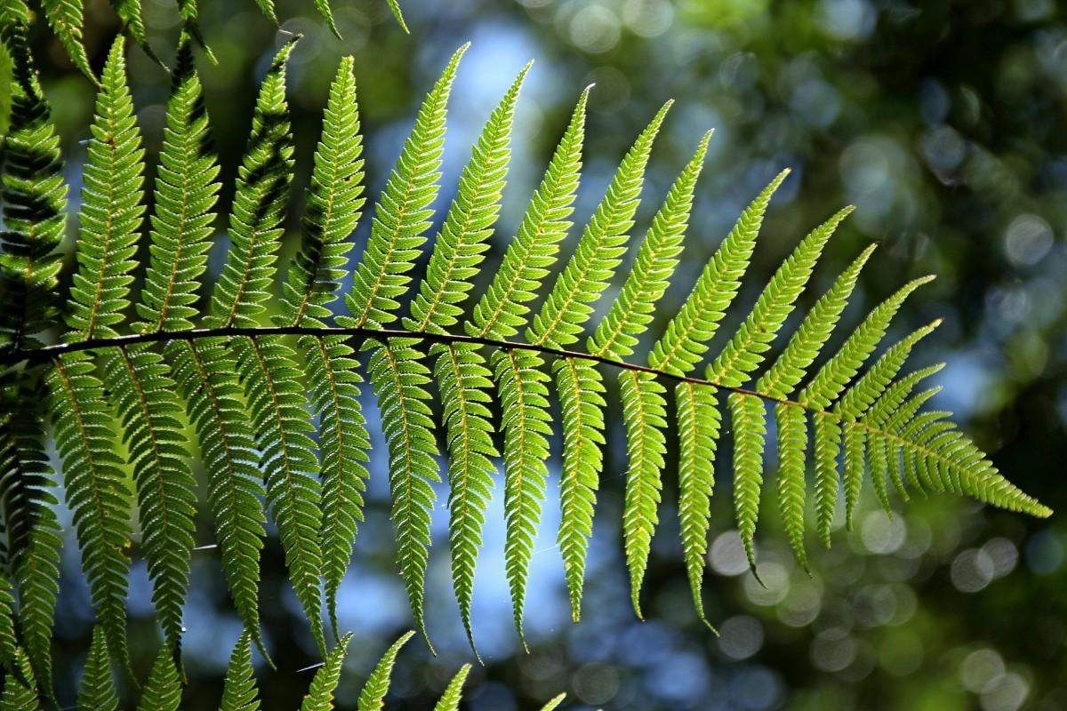 Typical fern leaf