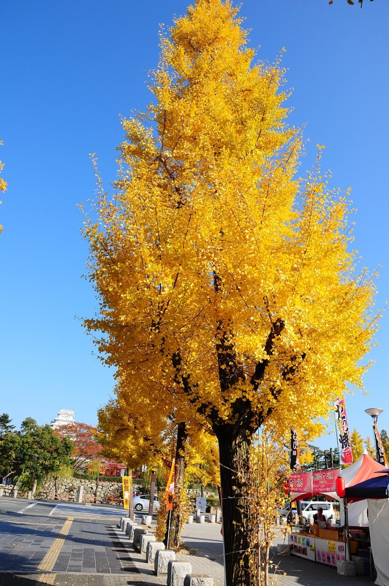 Fall colors of a female ginkgo tree in Japan