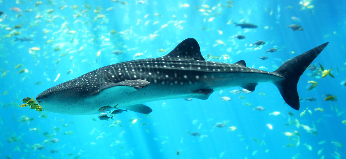 A whale shark: the biggest fish on the planet!