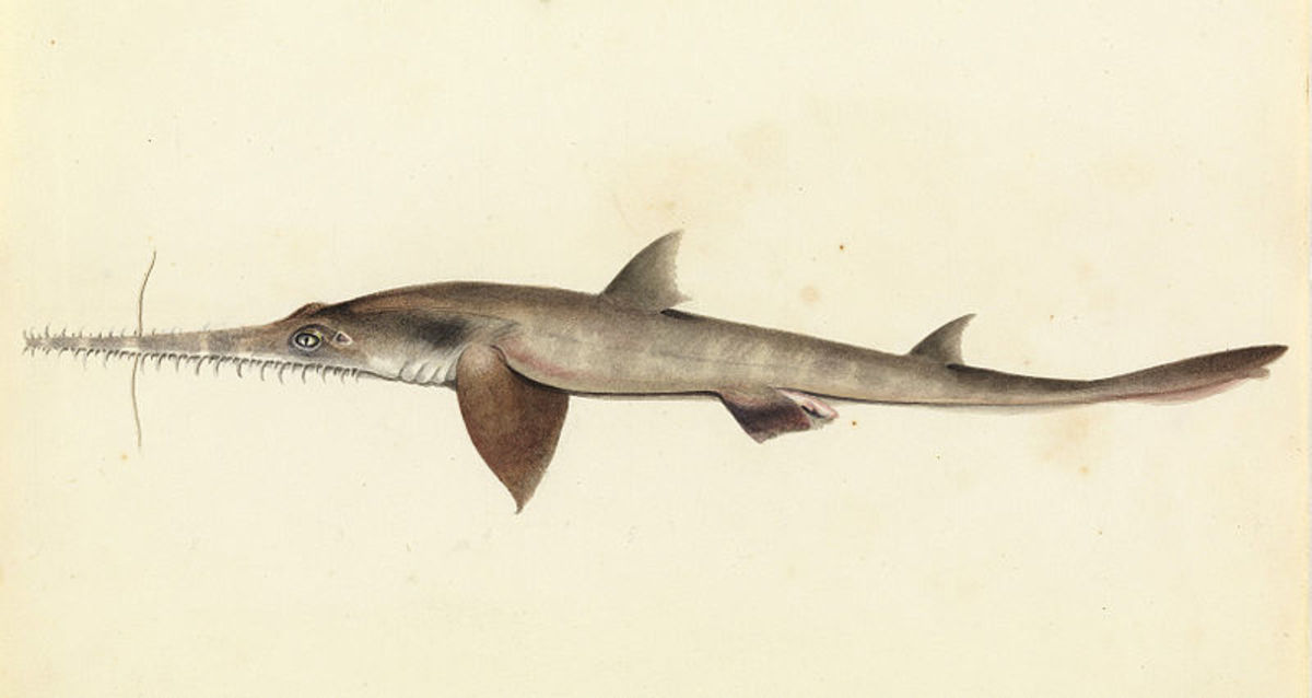 An early drawing of a long nosed sawshark