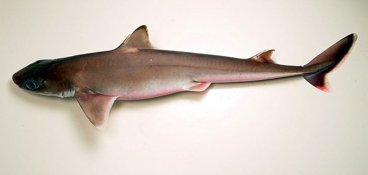 Cuban Dogfish