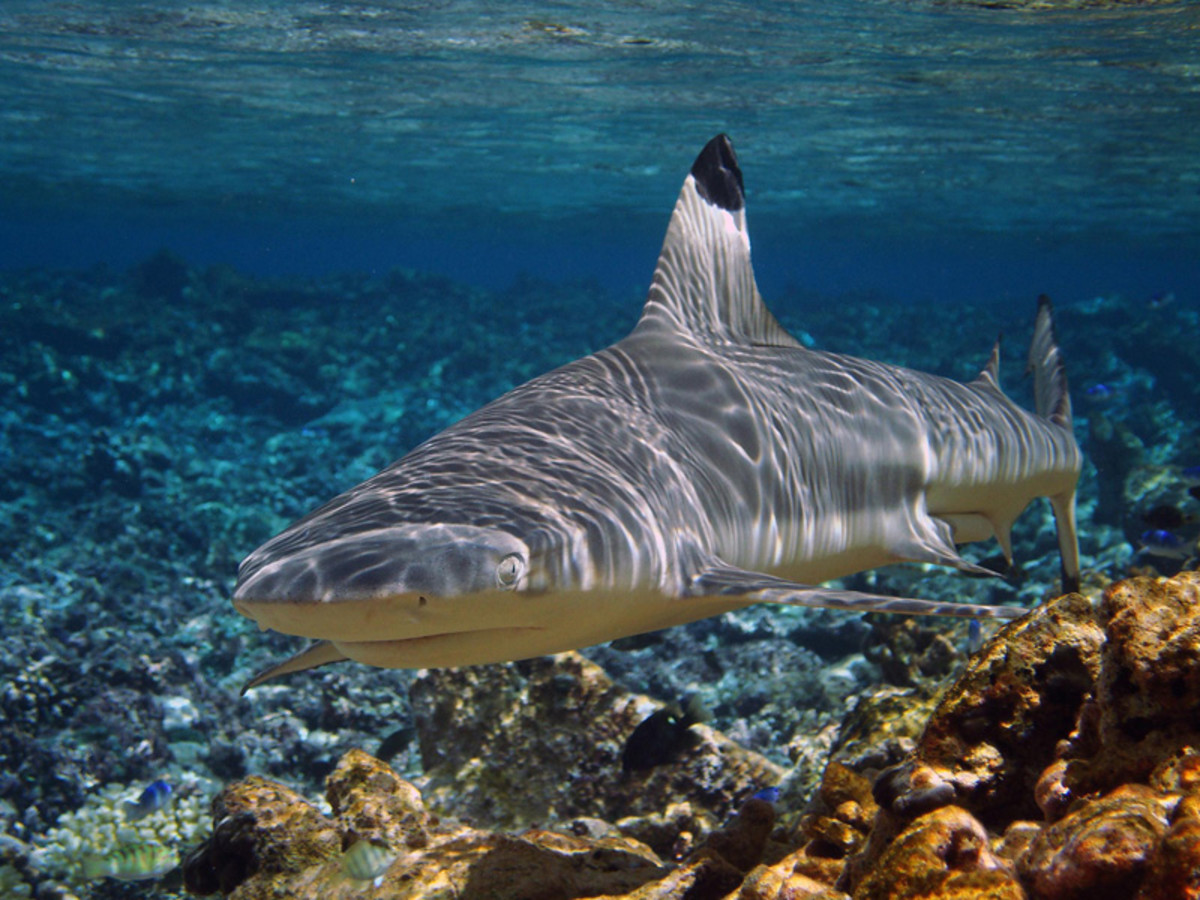 A ground shark; the blacktip reef shark