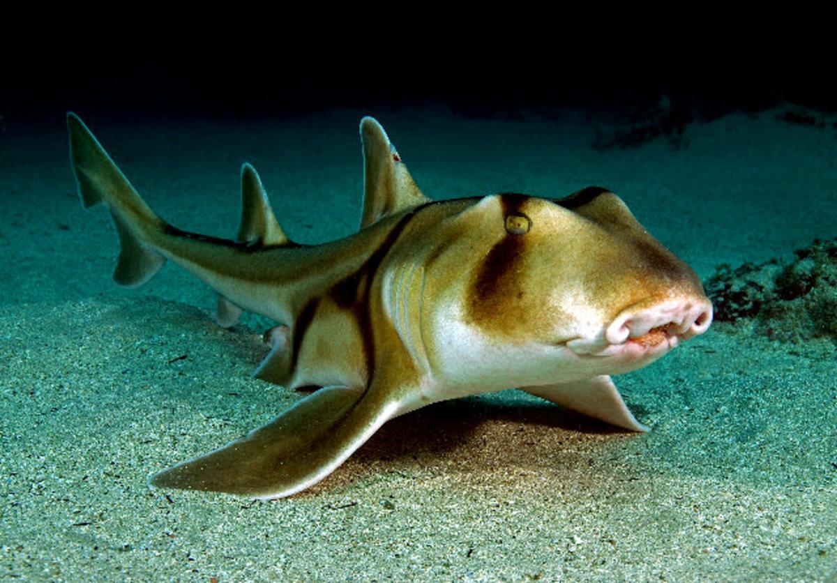A bullhead shark
