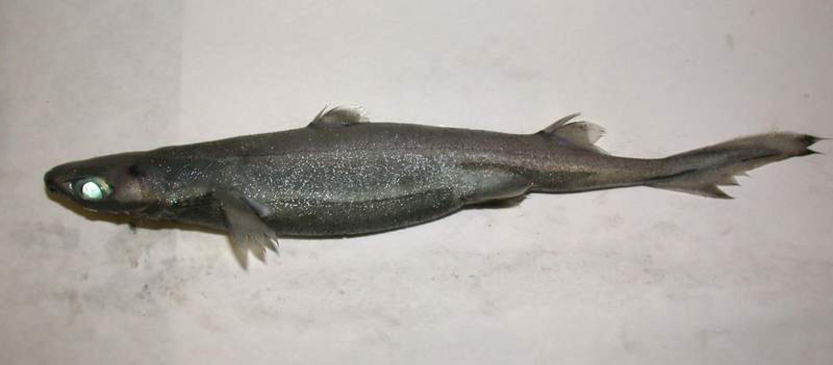 The tiny Lantern Shark.