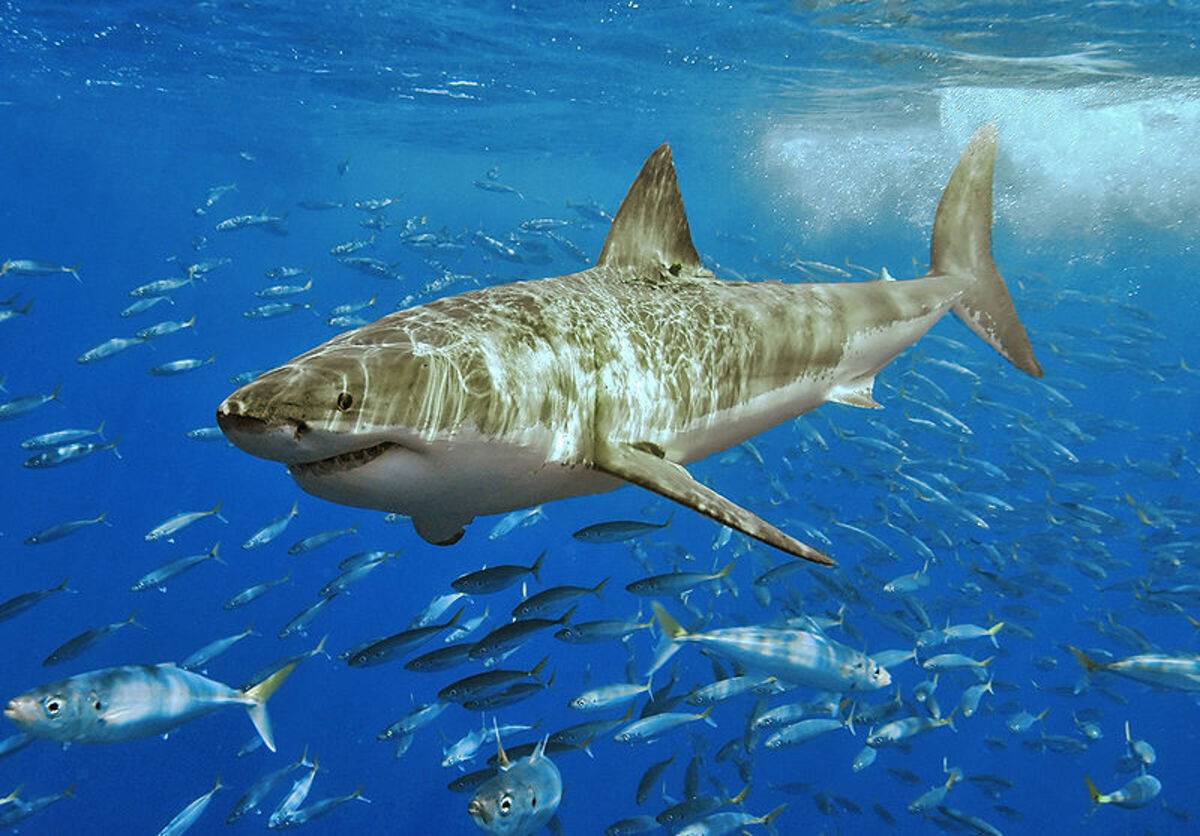 The biggest of the Mackerel sharks: The Great White. At six meters long it is 2 or 3 times as long as the average canoe!