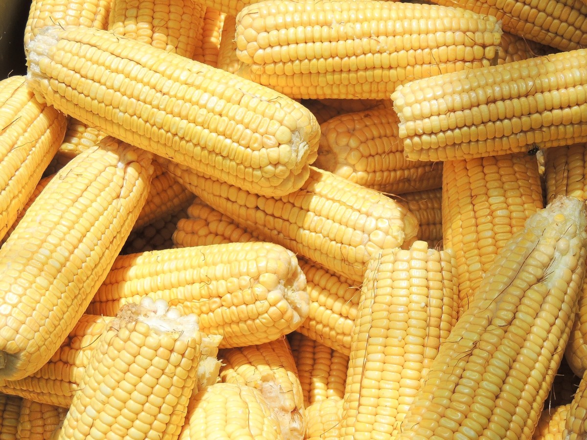 Corn, or maize, is a nutritious grain. It's also a source of cornstarch, which is helpful for both cooks and oobleck makers.