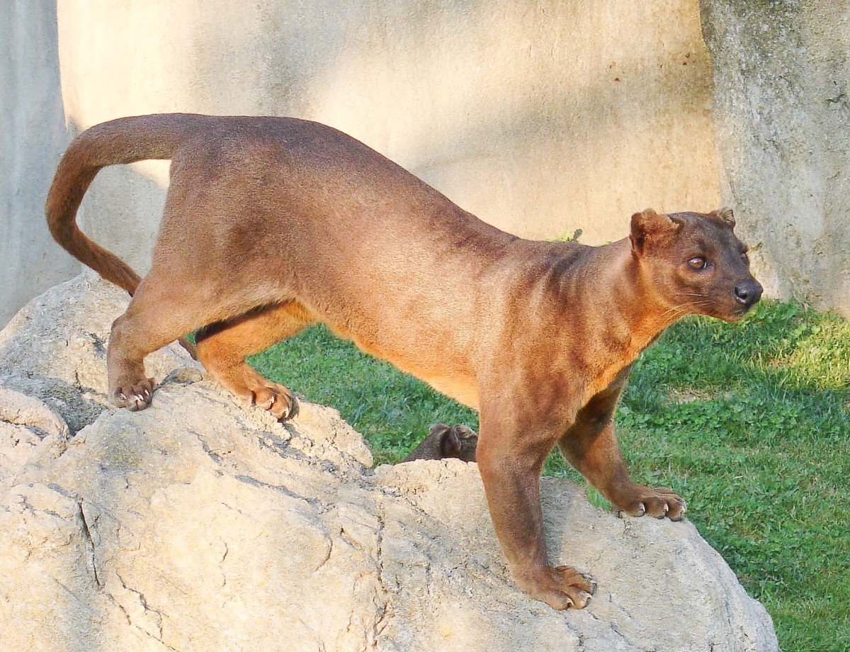 A fossa in captivity