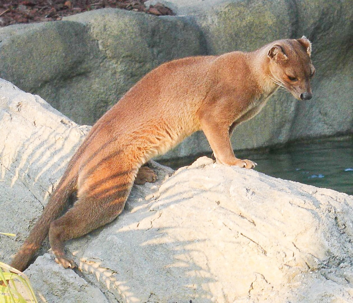 A fossa at Biopark Valencia in Spain