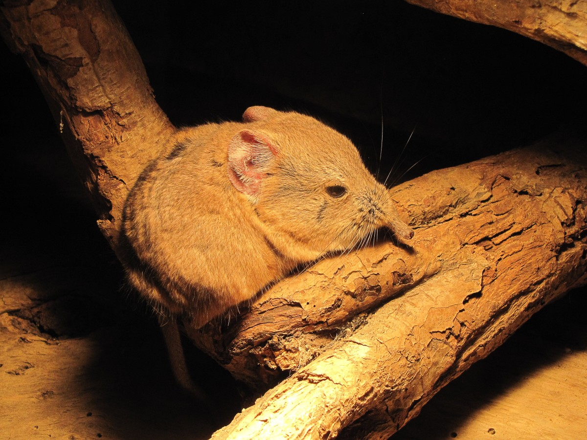 This is a round-eared elephant shrew (Macroscelides proboscideus). Its proboscis is shorter than that of the giant elephant shrews but still noticeable