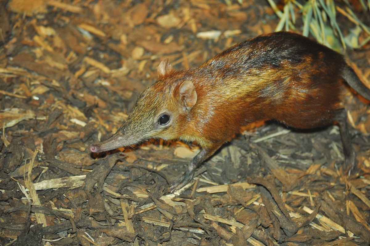 A checkered elephant shrew at Prague Zoo