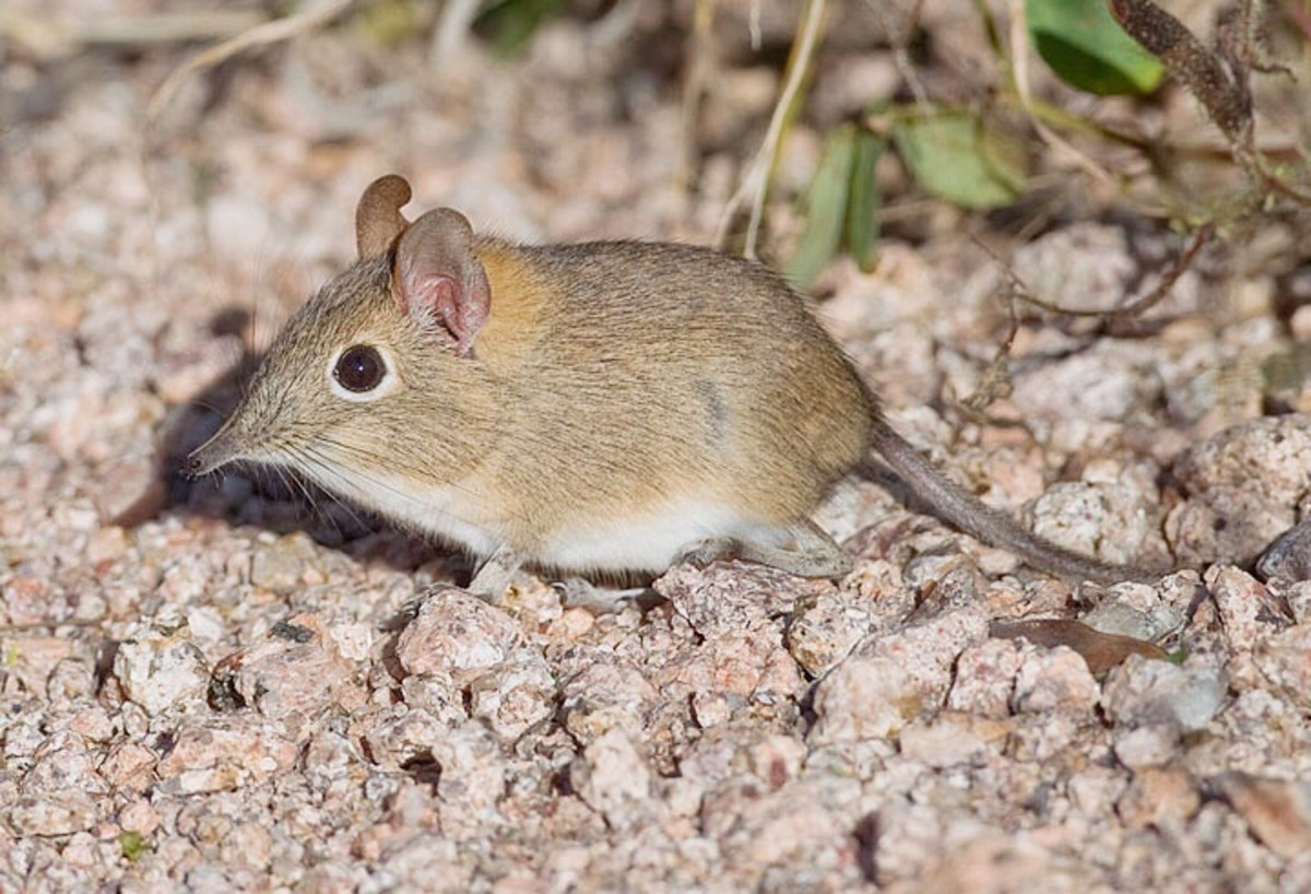 The bushveld elephant shrew (Elephantulus intufi)