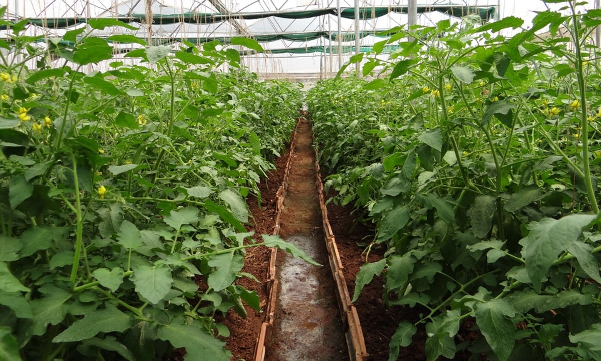 Tomatoes in a greenhouse: A herbaceous annual.