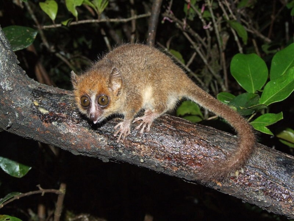 The pygmy mouse lemur, or Microcebus myoxinus