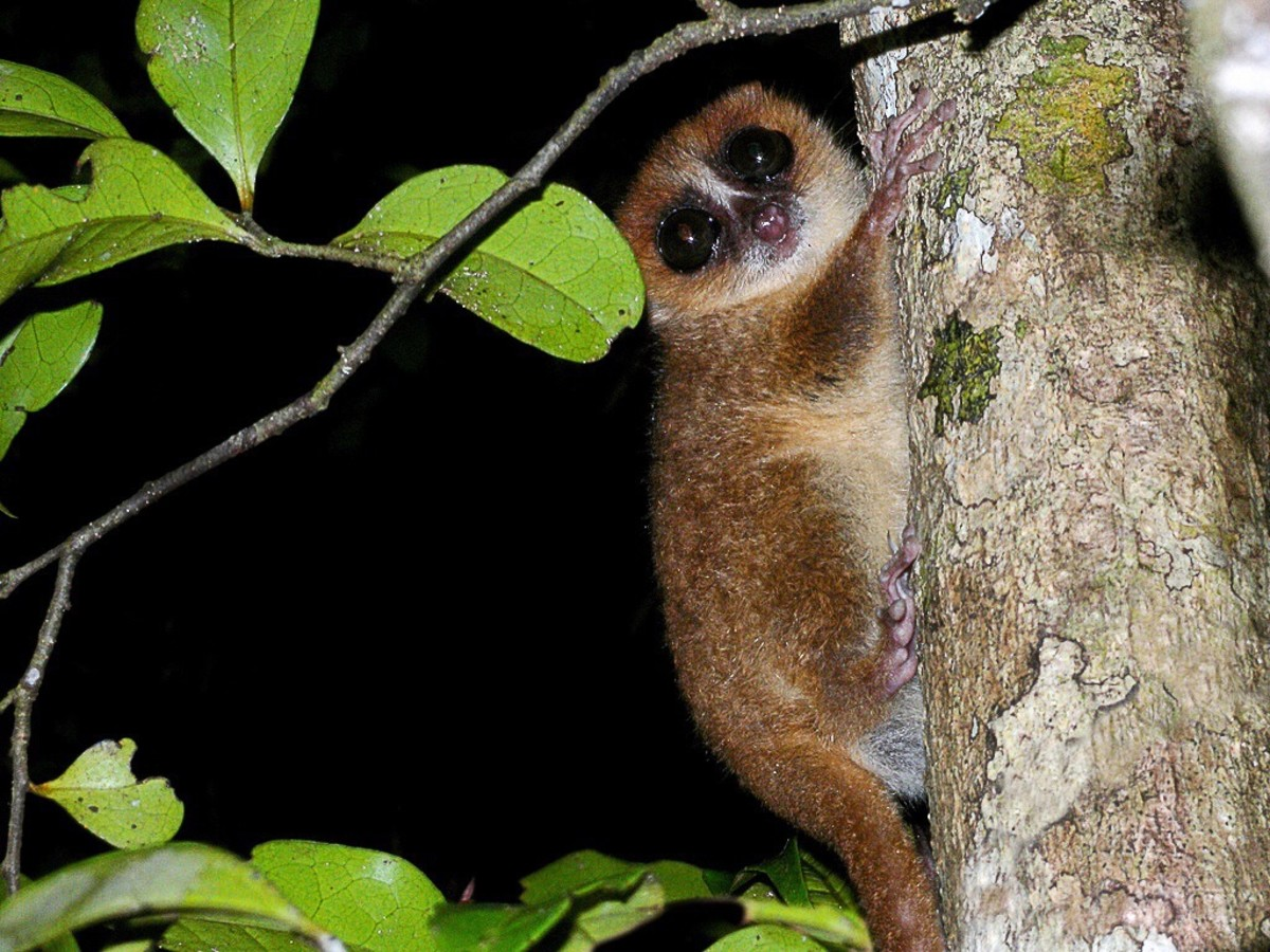 The brown mouse lemur, or Microcebus rufus