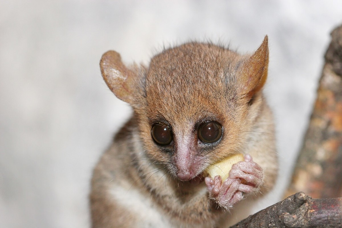 A close-up photo of a grey or gray mouse lemur