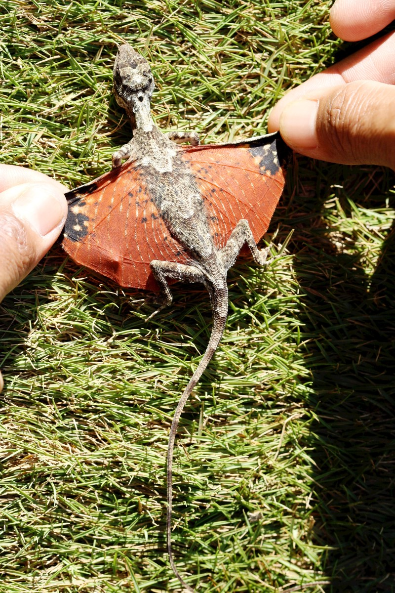 The wings or patagia of Draco sumatranus