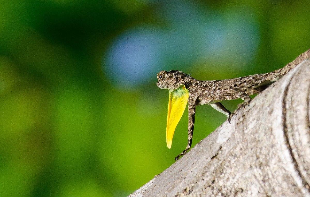 The dewlap or gular flap of a male Draco dussumieri