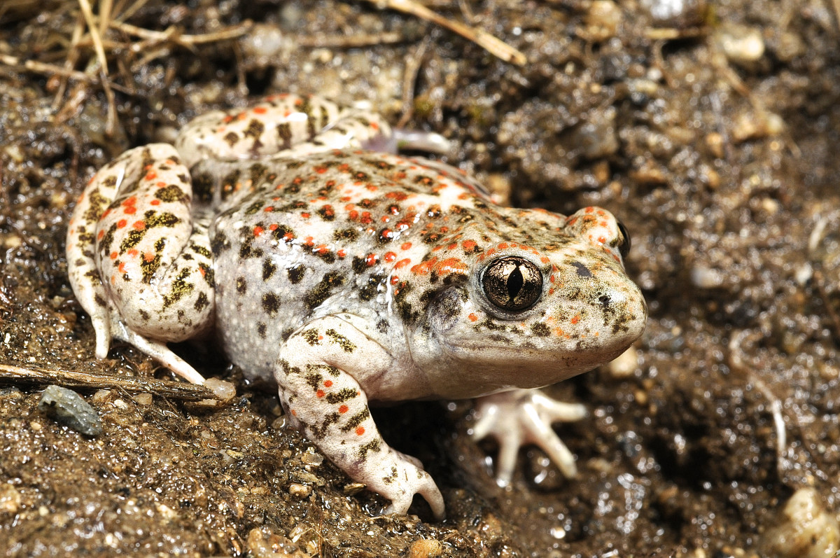The Iberian midwife toad (Alytes cisternasii)