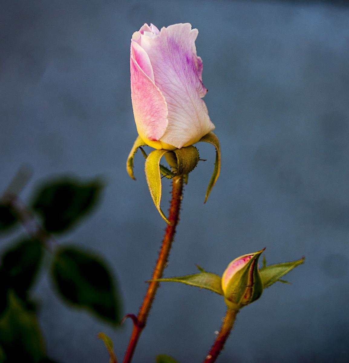 Iceburg Rosebuds