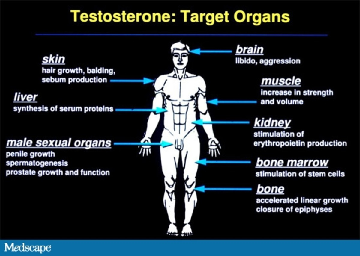 The Effect of Testosterone on Organs