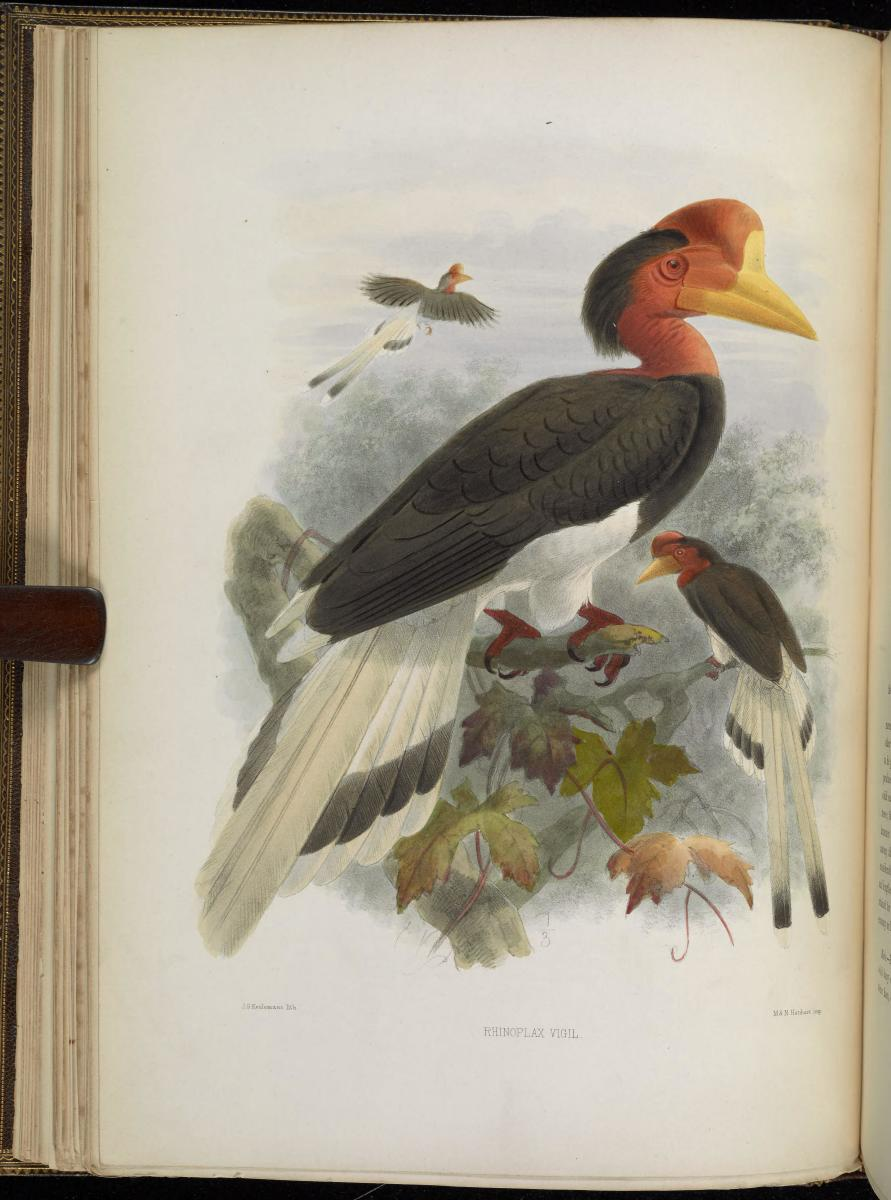 An illustration of a male helmeted hornbill