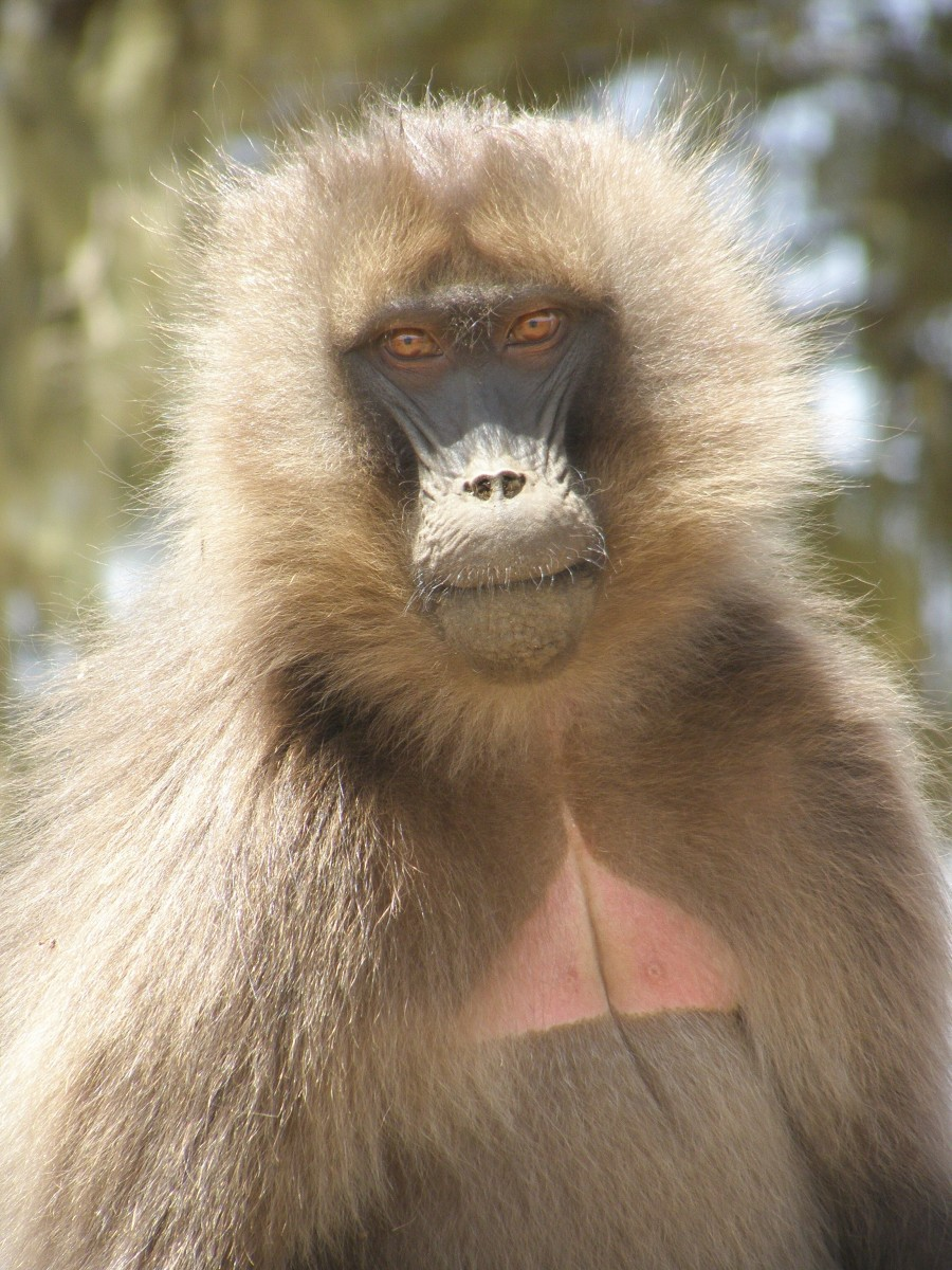 This is a female gelada. Males have red chest patches.