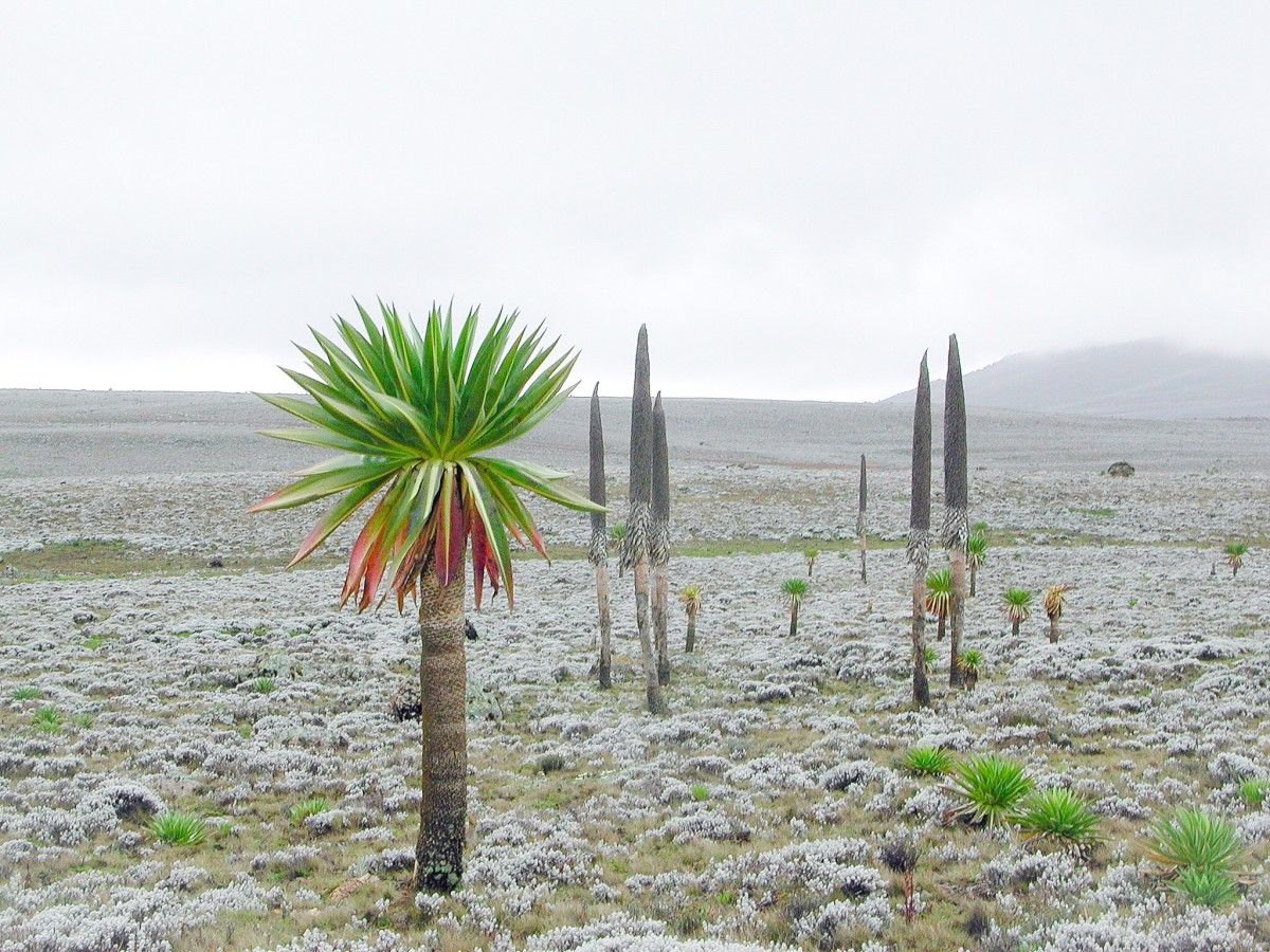 A giant lobelia in Bale Mountain National Park, one home of Ethiopian wolves