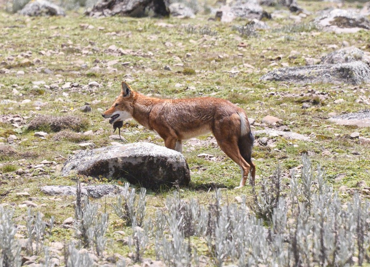 Ethiopian wolf and prey