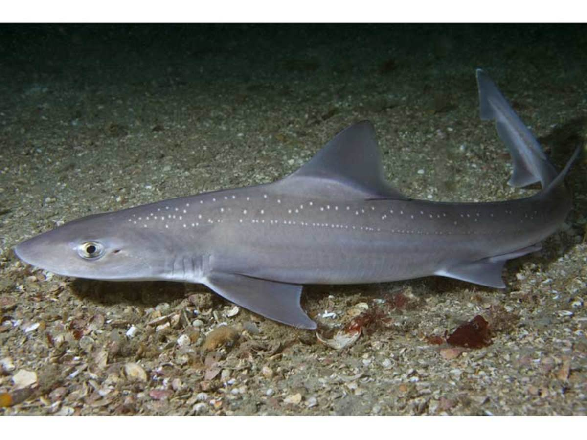 Starry smooth-hound