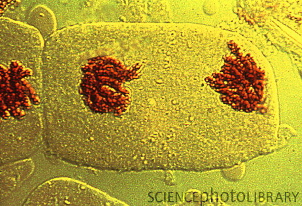 Telophase sees the nuclear envelope reform around the chromosomes at opposite poles of the cell