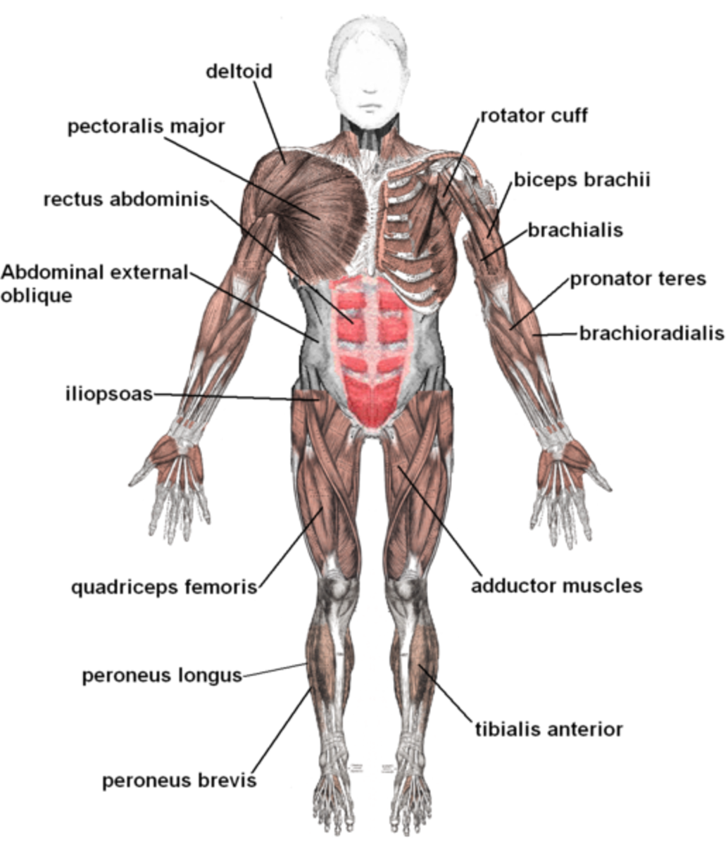 Human Muscular System, labeling on the front view. Image Credit: Mikael Häggström via Wikimedia Commons