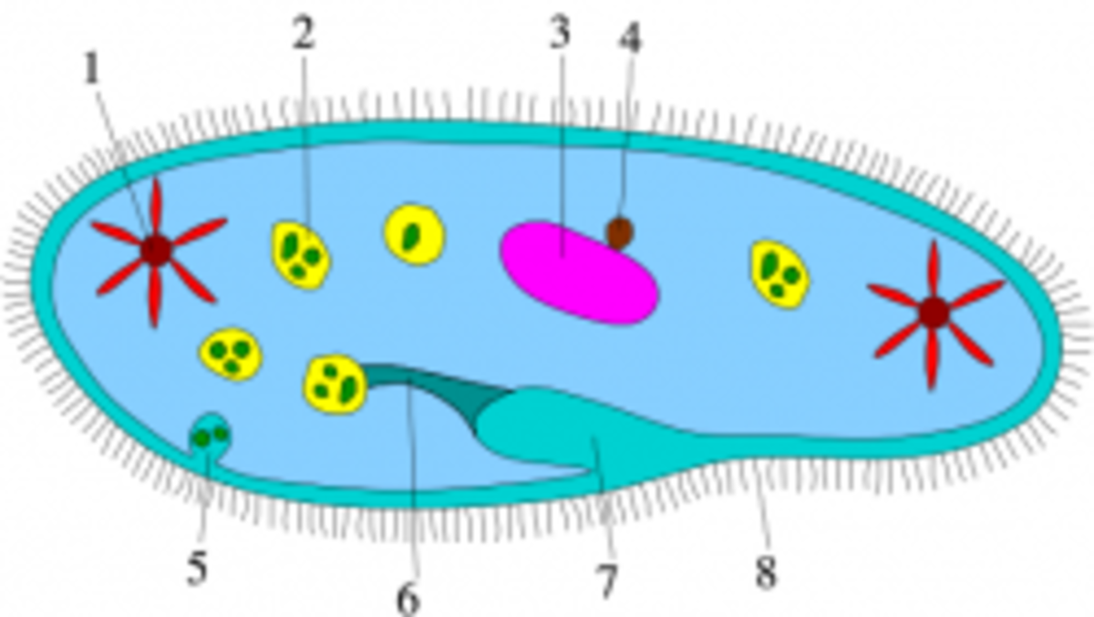 Diagram of Ciliophora, A type of Protist