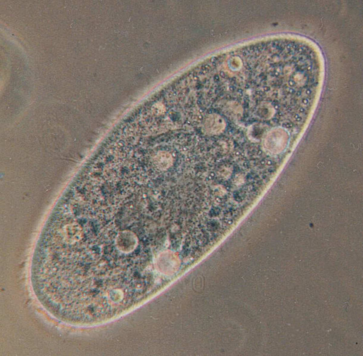 Paramecium - a type of cilate