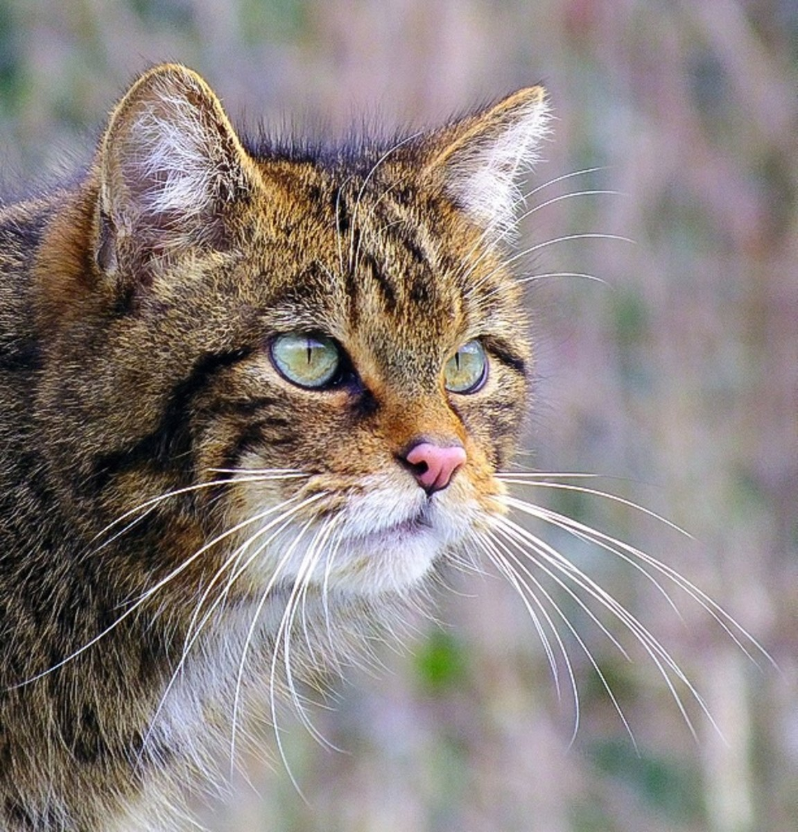 A beautiful Scottish wildcat